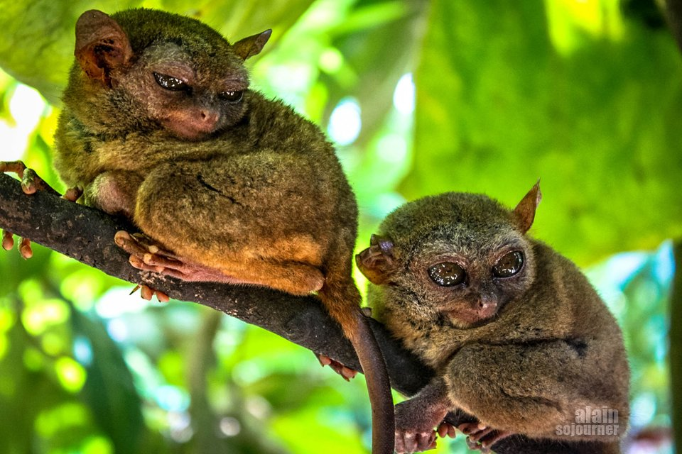 Things to do in Bohol  tarsier
