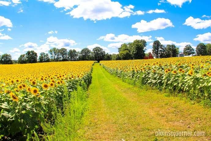 Hamilton Sunflower Field in Ontario 13