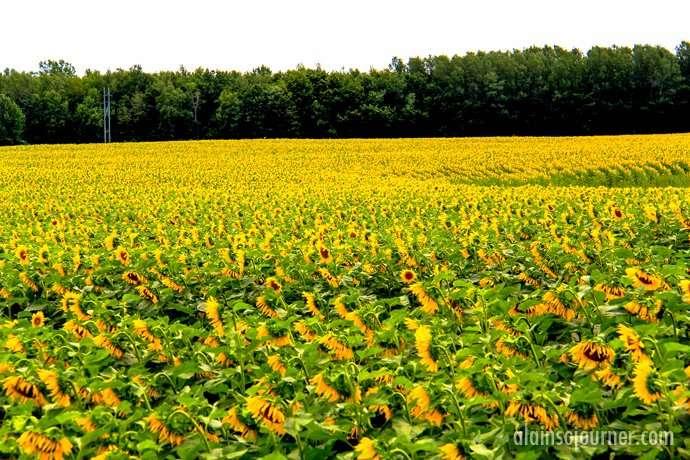 Sunflower Field in Hamilton, Ontario.