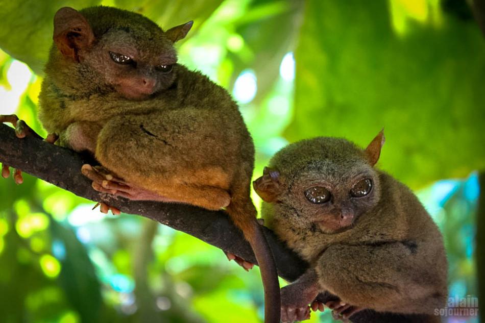 Tarsier - One of the Smallest Monkeys in the World