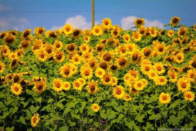 sunflower field in Ontario Innisfil