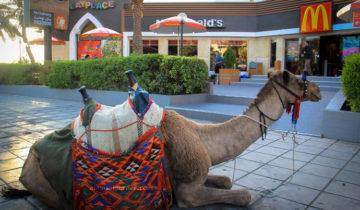 camel burger, anyone?