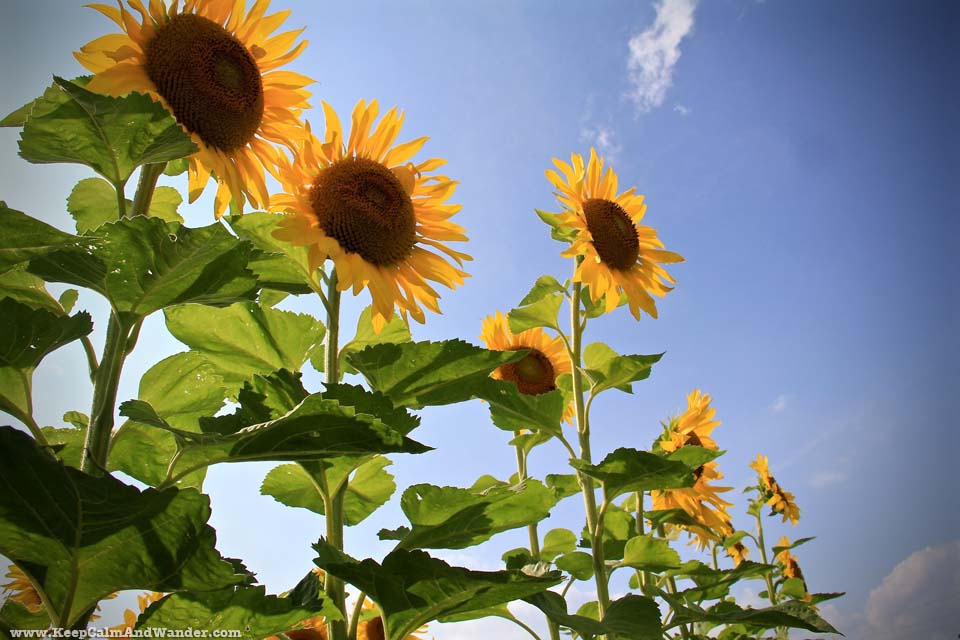 It's summer! Go out and visit a Sunflower Field in Hamilton, Ontario.