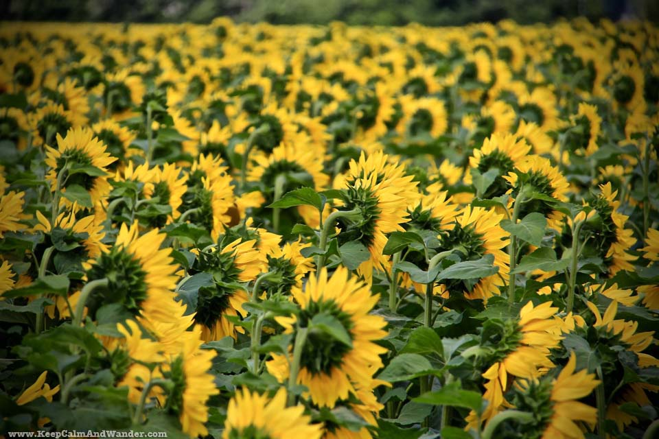 It's summer! Go out and visit a Sunflower Farm in Hamilton, Ontario.