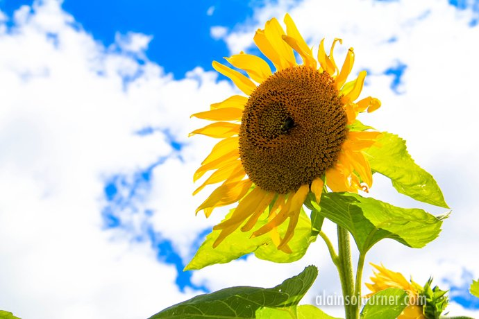 Hamilton Sunflower Farm Ontario 29