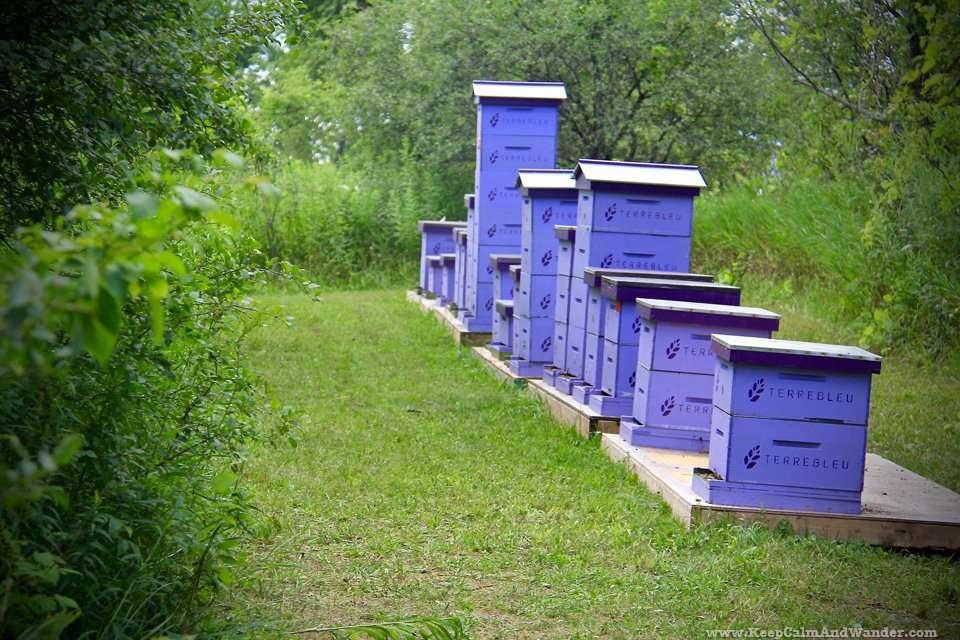 Lavender Field in Milton, Ontario.