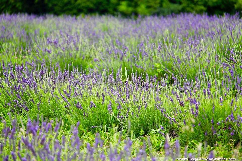 Lavender Farm in Milton, Ontario.