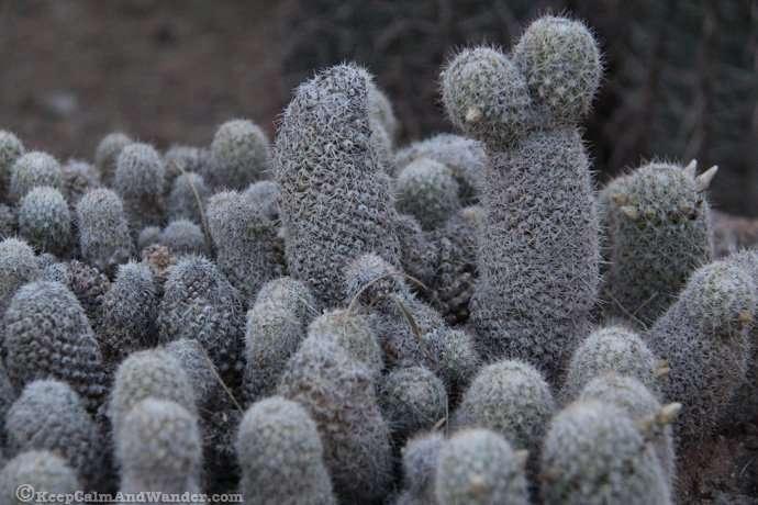 So Many Cactuses at the Desert Botanical Garden in Phoenix, Arizona.