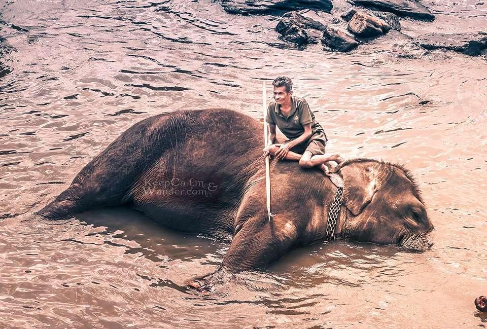 The State of the Elephants at Pinnawala Elephant Orphanage in Sri Lanka
