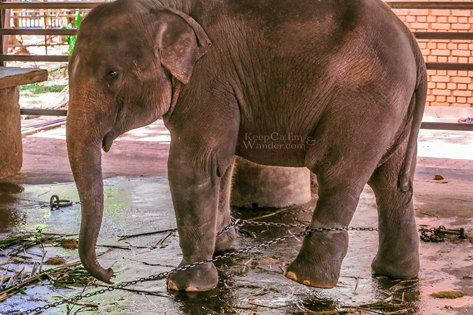 The State of the Elephants at Pinnawala Elephant Orphanage in Sri Lanka.