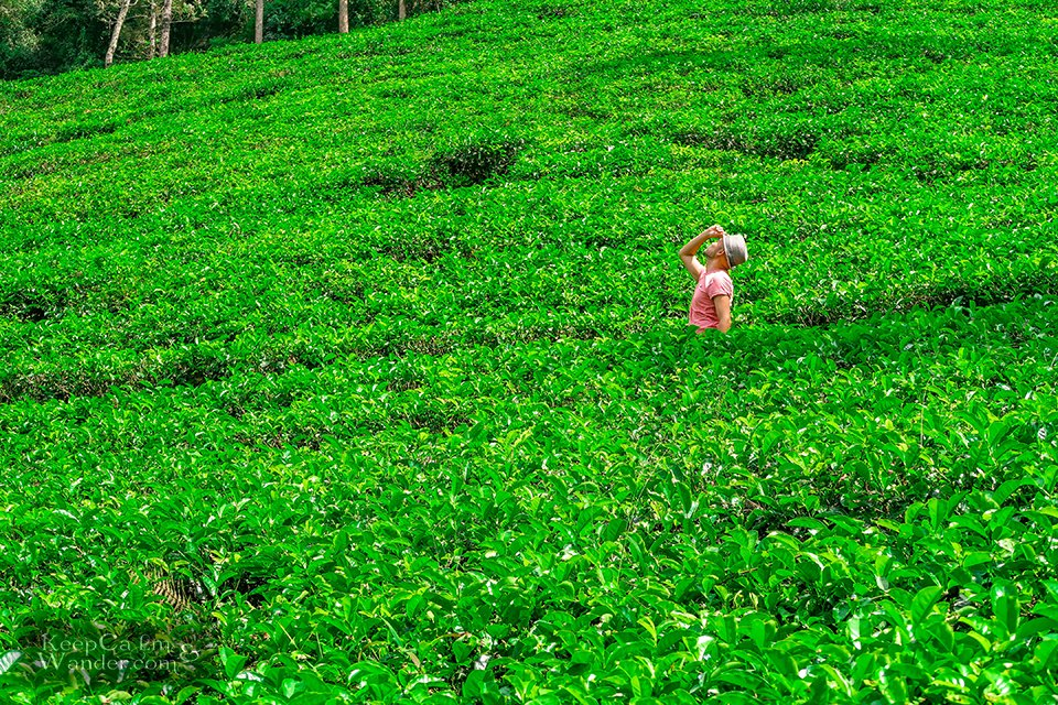 8 Days in Sri Lanka Itinerary (Blue Field Tea Plantation)