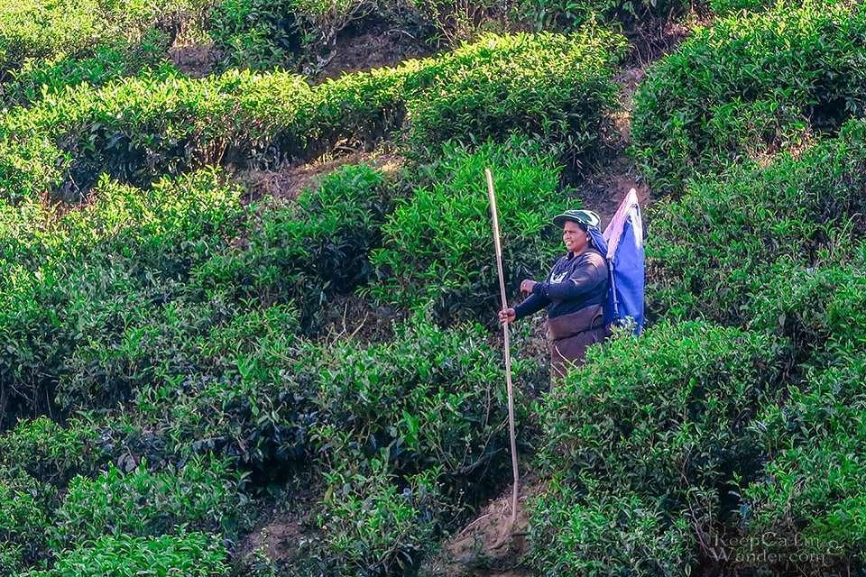 The Stunning Pedro Tea Plantation in Nuwara Eliya (Sri Lanka).