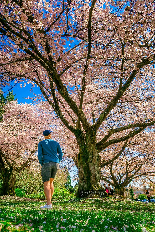 Canada Cherry Blossom Festival Vancouver - Q. Elizabeth Park.
