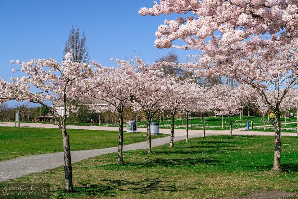 Garry Point park Richmond Cherry Blossoms