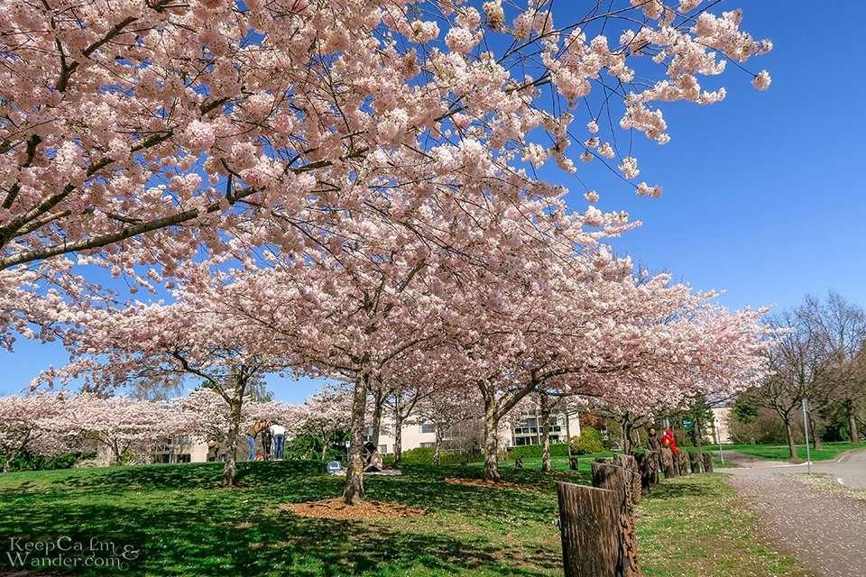 Vancouver Spring Cherry Blossom Richmond Garry Park