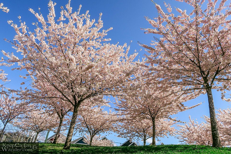 Garry Point Cherry Blossom Photo