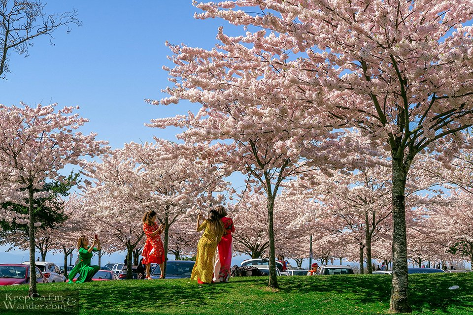 Cherry Blossoms Vancouver Richmond Garry Point