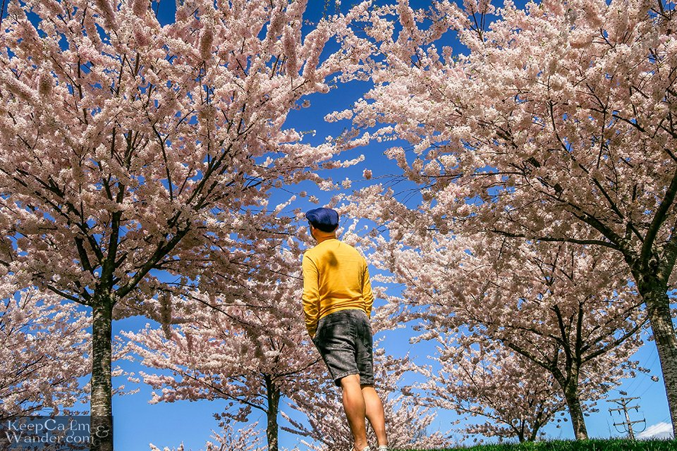Man in yellow shirt looking up at cherry blossoms