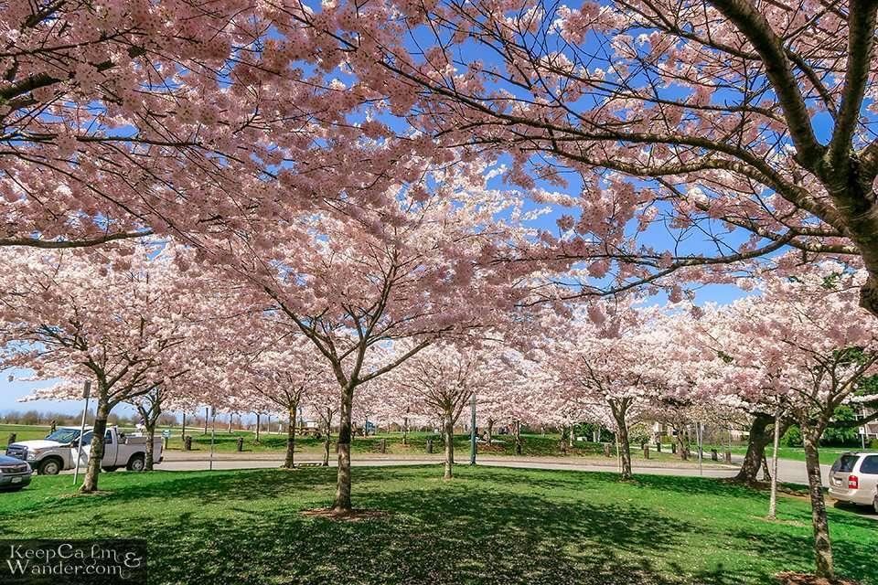 Cherry Blossoms Vancouver Park