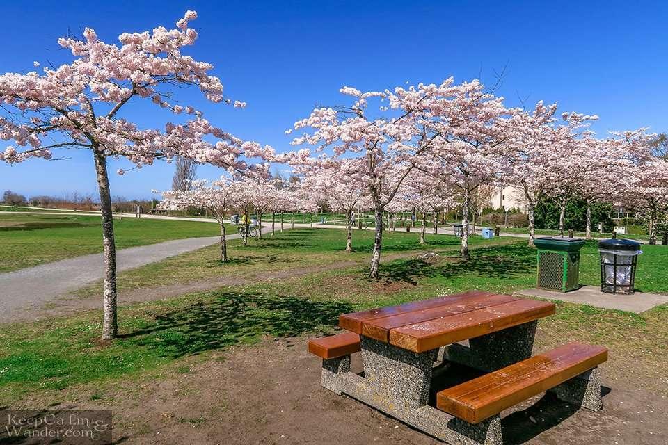 Man in yellow shirt picking cherry blossoms
